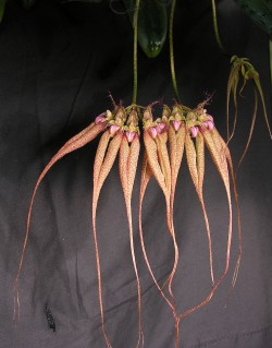 Bulbophyllum Lovely Elizabeth