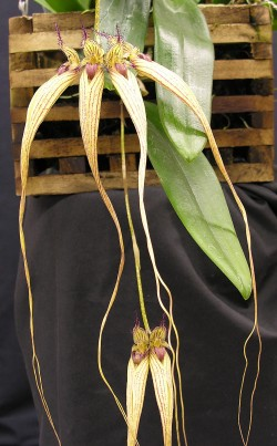 Bulbophyllum Melting Point