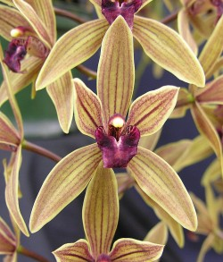 Cymbidium Devondale