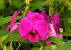 Dendrobium Walnut Valley Purple