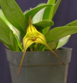Masdevallia Walnut Valley