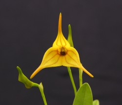 Masdevallia Walnut Valley Aquarius Max & Bryon