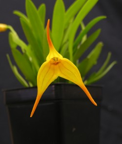 Masdevallia Walnut Valley AquariusWalnut Valley