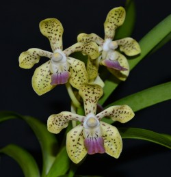 Vanda Walnut Valley Mike