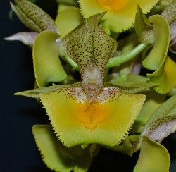 Catasetum Spotted Dragon