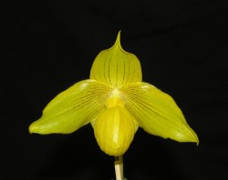 Paph Walnut Valley Royal Bel