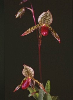 Paph Southport
