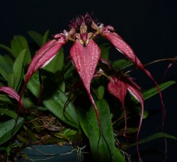 Bulbophyllum rothschilianum