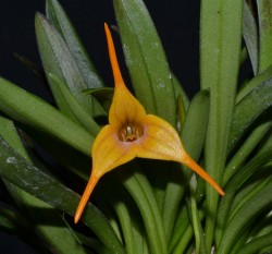 Masdevallia Walnut Valley Aquarius