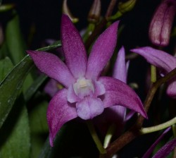 Dendrobium Walnut Valley Pinterry