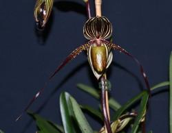 Paph Saint Swithin