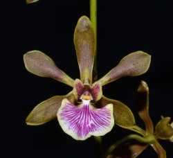 Encyclia Winfield Rascal