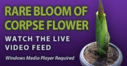 Corpse Flower Video Link