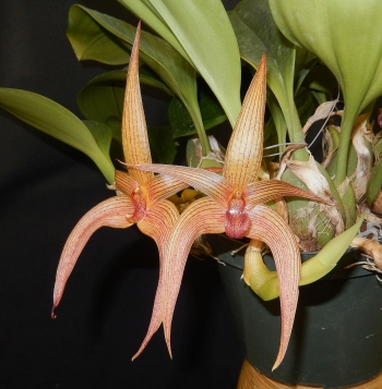 Bulbophyllum Walnut Valley Jersey max & bryon FCC