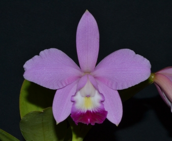 Cattleya Walnut Valley Sparky