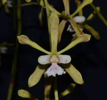 Encyclia species